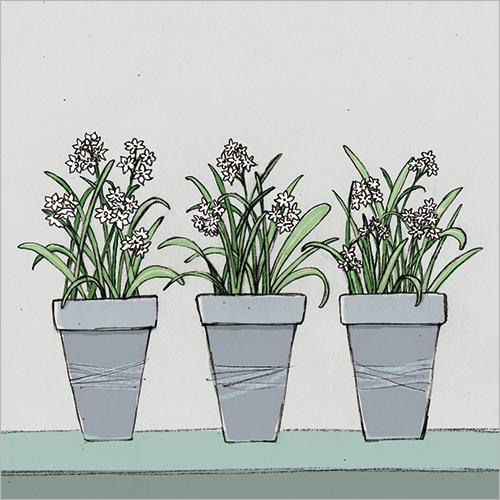 Pots of Narcissi